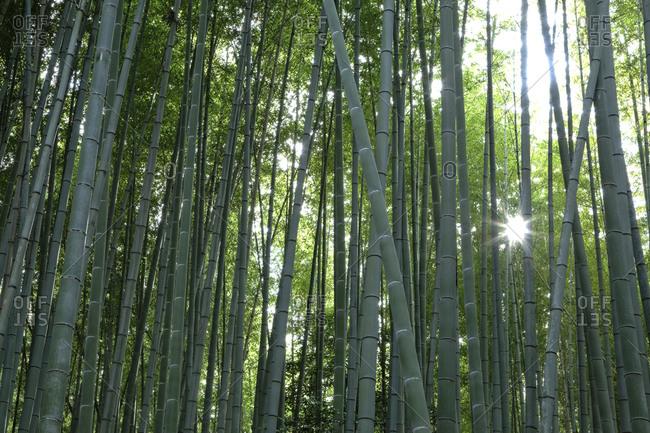 Sunburst inside the Arashiyama Bamboo Grove
