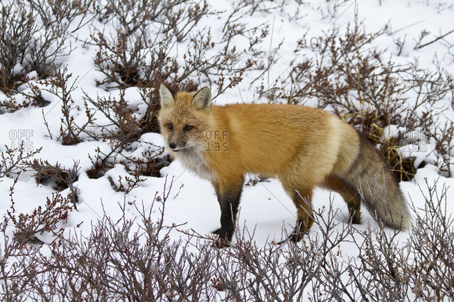 Red Fox (Vulpes vulpes) in snow in winter