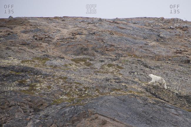 Lone polar bear (Ursus maritimus) on rocky shore