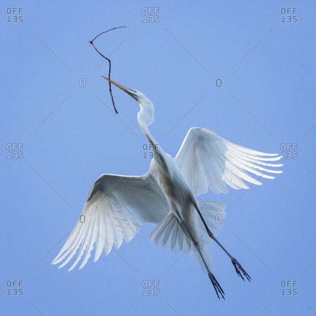 Great egret flying with nesting material