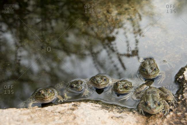 Lowland leopard frog (Rana yavapaiensis)