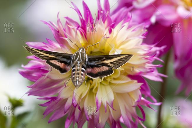 White-lined sphinx moth feeds on flower nectar
