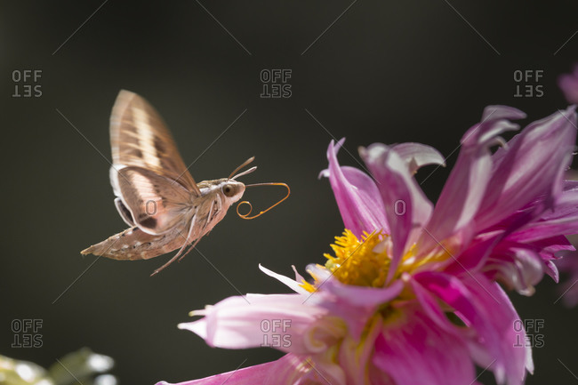 White-lined sphinx moth unfolds long tongue to feed
