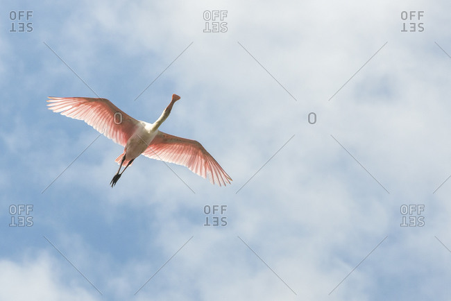 Roseate Spoonbill from the Offset Collection