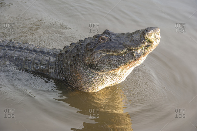Alligator doing water dance