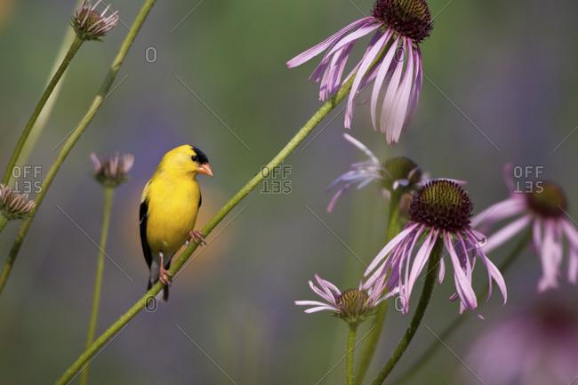 American Goldfinch (Carduelis tristis) male on Pale Purple Coneflower (Echinacea pallida)  in garden