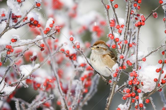 American Tree Sparrow (Spizella arborea) on Common Winterberry (Ilex verticillata) in winter
