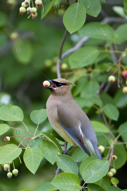 Cedar Waxwing (Bombycilla cedrorum) eating berry in Serviceberry Bush (Amelanchier canadensis)