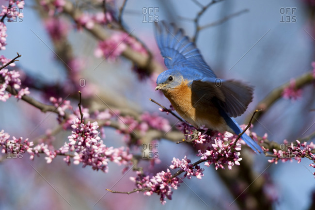 Eastern Bluebird (Sialia sialis) male flying from Eastern Redbud (Cercis canadensis) in spring