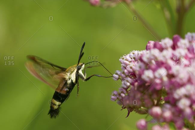 Hummingbird Clearwing Moth (Hemaris thysbe)  on Swamp Milkweed (Asclepias incarnata)