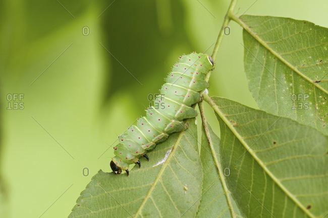 Luna Moth (Actias luna) caterpillar (larva) on host plant Hickory Tree (Carya Sp.)