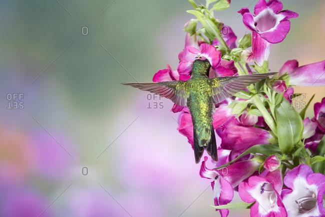 Ruby-throated Hummingbird (Archilochus colubris) male at Phoenix Magenta Penstemon (Penstemon hybrid)