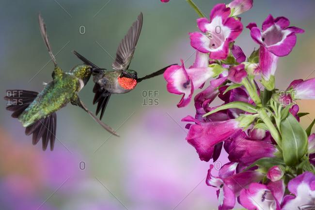 Ruby-throated Hummingbirds (Archilochus colubris) males at Phoenix Magenta Penstemon (Penstemon hybrid)