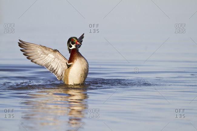 Wood Duck (Aix sponsa) male flapping wings in wetland