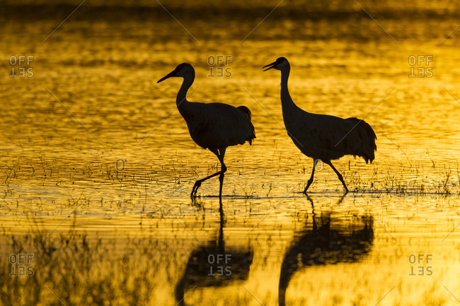 Silhouette of sandhill cranes in water