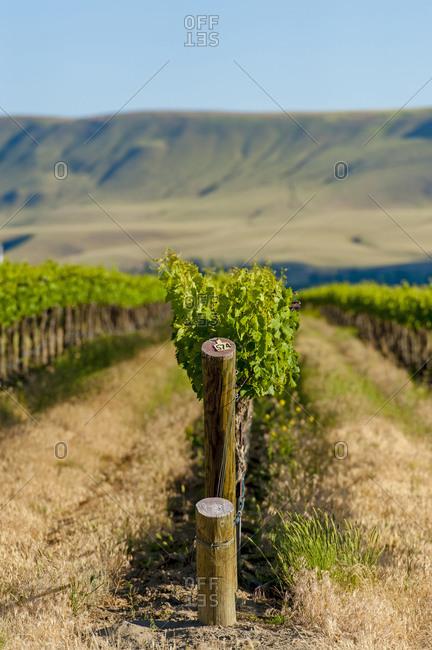 Vineyard in Yakima Valley, Washington, USA