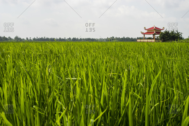 View of a rice field in Ca Mau, Vietnam