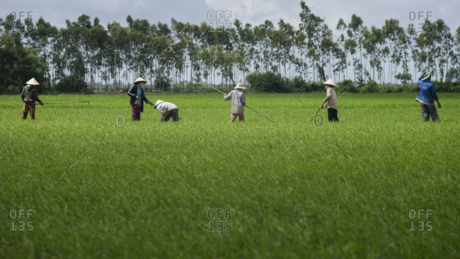 People working in a rice field in Soc Trang Province, Vietnam
