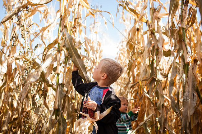 Children picking corns in a corn maze