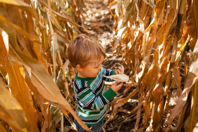 Little boy in a corn maze