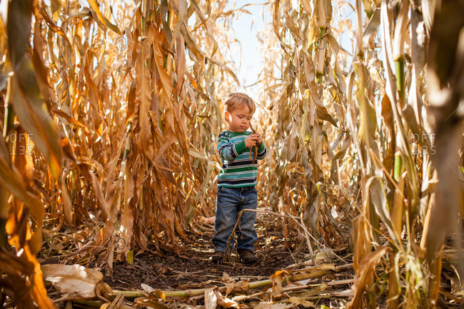 Little boy holding dry leaves in a corn maze