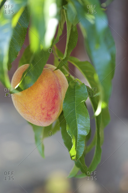 Ripe peach on tree ready to be picked