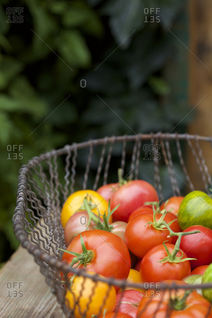 A metal basket of fresh picked heirloom tomatoes