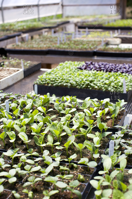 Seedlings in trays in a greenhouse
