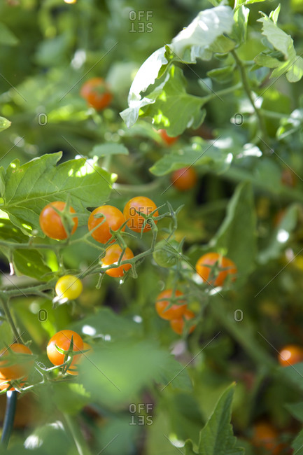 Sweet orange tomatoes on the vine