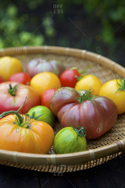 A garden basket of fresh picked heirloom tomatoes