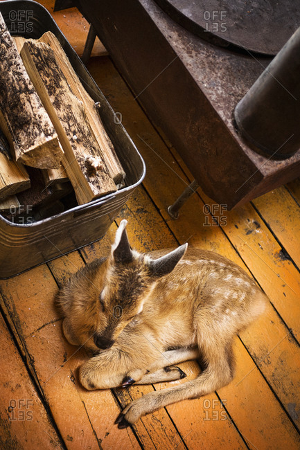 Fawn resting on floor in a Mongolian yurt