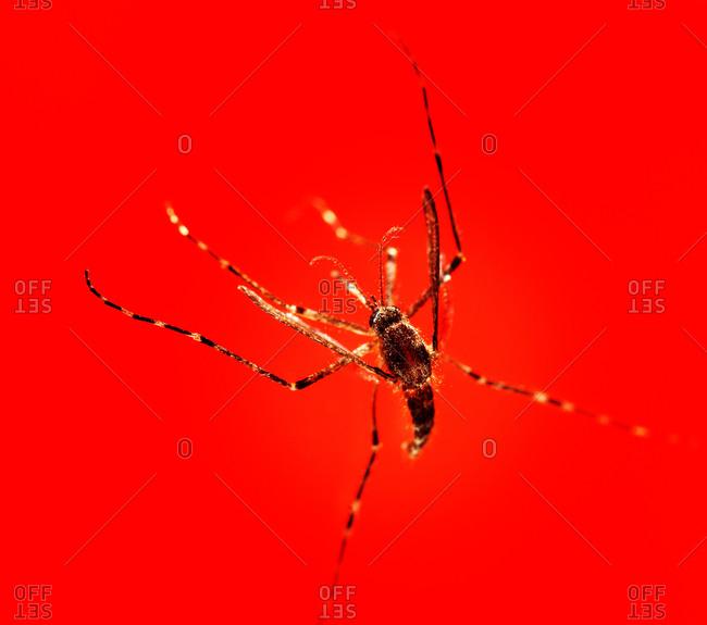 Studio shot of a mosquito