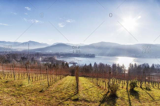 Vineyard at Woerthersee