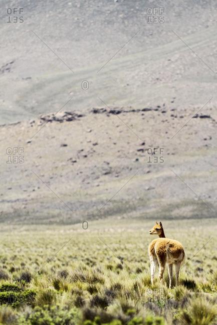 View of a vicuna in the Andes, Vicugna vicugna