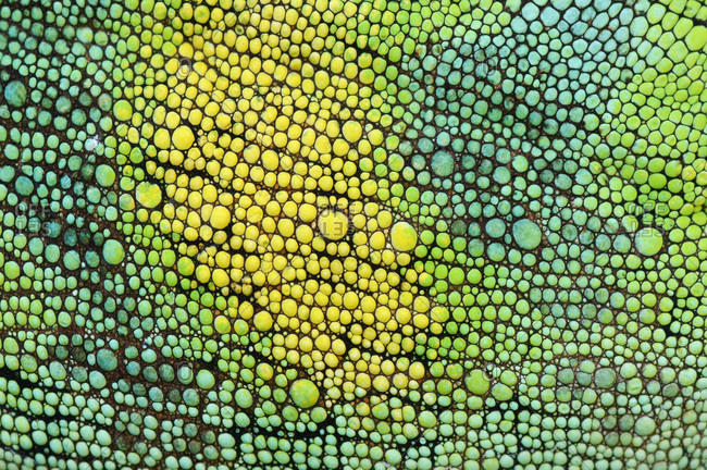 Skin of Johnston\'s Chameleon, Chamaeleo johnstoni,
