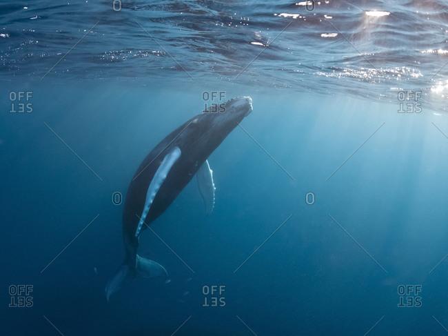 Silverbanks, Humpback whale, Megaptera novaeangliae