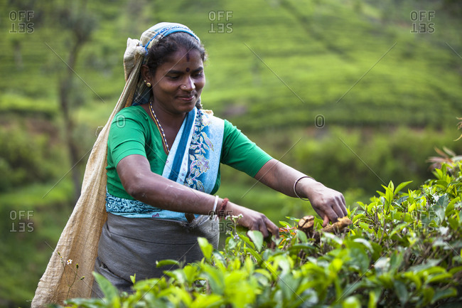 Sri Lanka - September 4, 2010: A Tamil woman picks tea in Sri Lanka