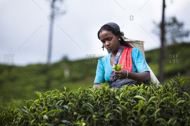 Sri Lanka - September 4, 2010: A Tamil woman picks tea in Sri Lanka