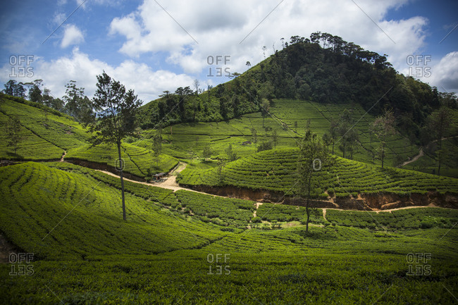 View of tea plantation, Sri Lanka