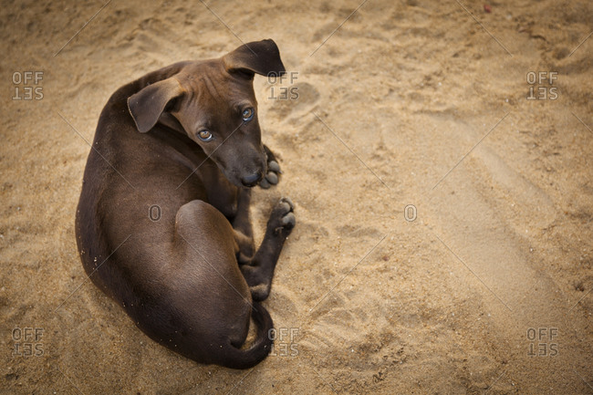 Brown puppy on sand, Panadura, Sri Lanka