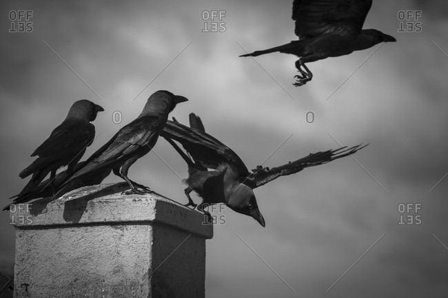 Crows, Galle, Sri Lanka