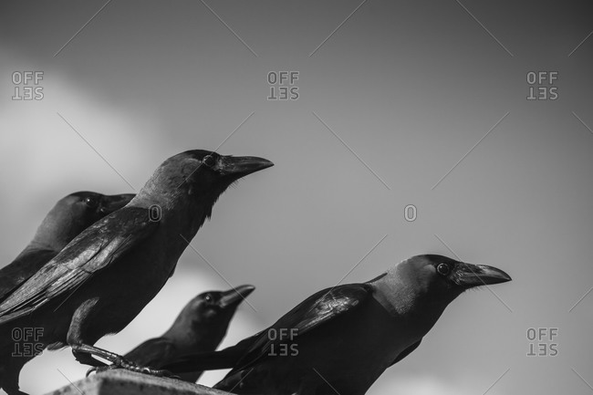 Close up of black crows