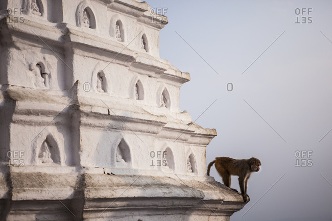 Rhesus macaque at the Swayambhunath Temple complex, Kathmandu, Nepal