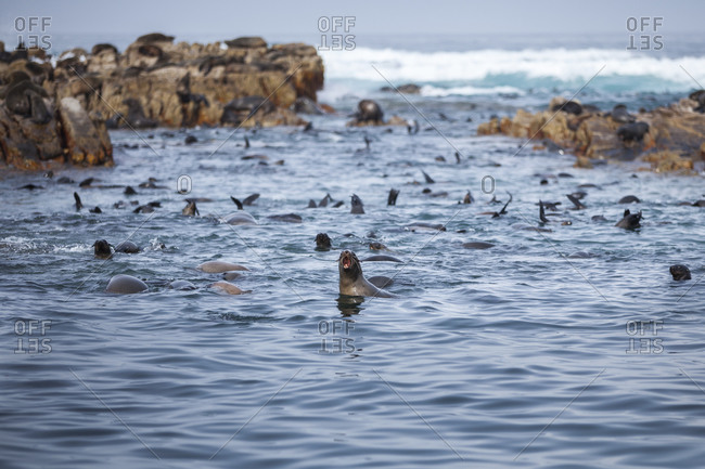 Cape Fur Seals at the Dyer Island Reserve, South Africa