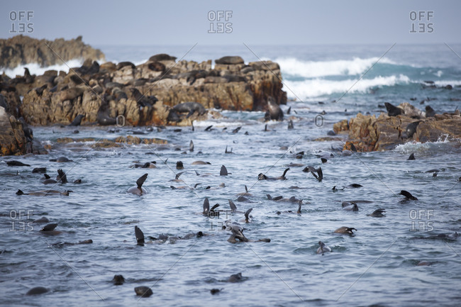 Herd of Cape Fur Seals at the Dyer Island Reserve, South Africa