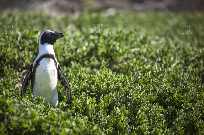 African Penguin at Boulders Beach in Cape Town, South Africa