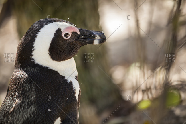 Portrait of an African Penguin at Boulders Beach in Cape Town, South Africa
