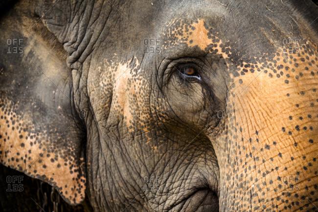 Close up of the head of an Indian Elephant, Kandy, Sri Lanka