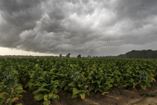 Storm clouds above a tobacco plantation