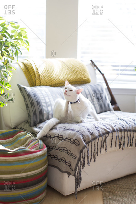 White cat scratching on sofa